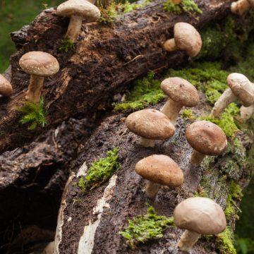 shiitake mushrooms growing on trees