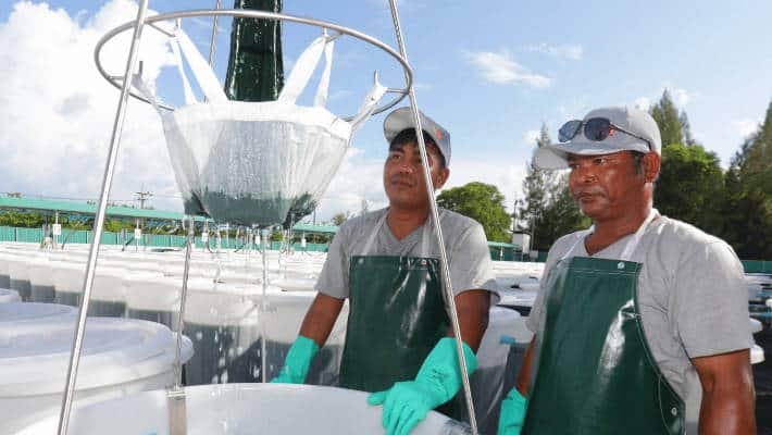 harvesting spirulina
