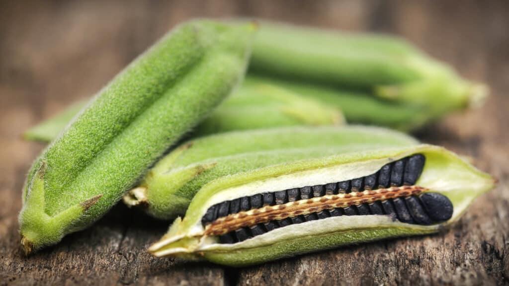 black sesame seeds in a pod