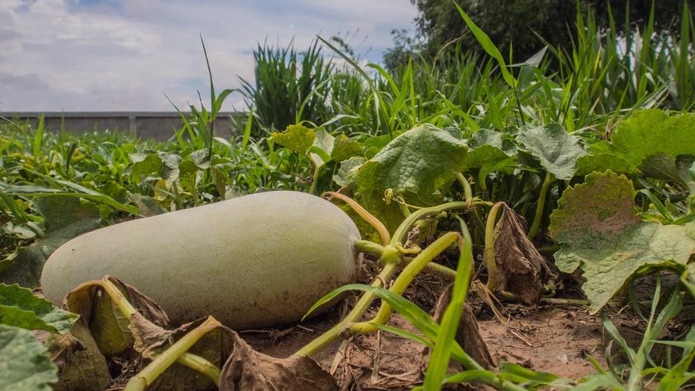 Winter-gourd-growing