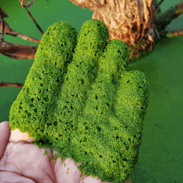 fresh-wolffia-globosa-scooped-out-of-a-pond-with-a-hand